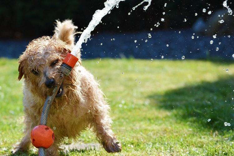 Norfolk Terrier brincando água