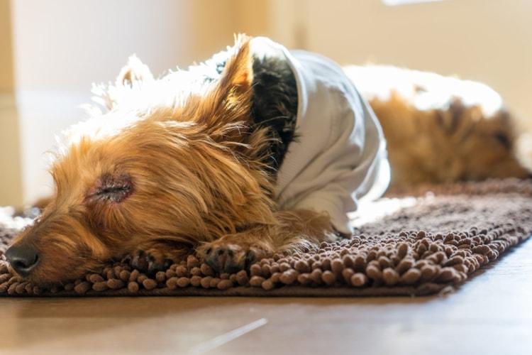 Norfolk Terrier dormindo