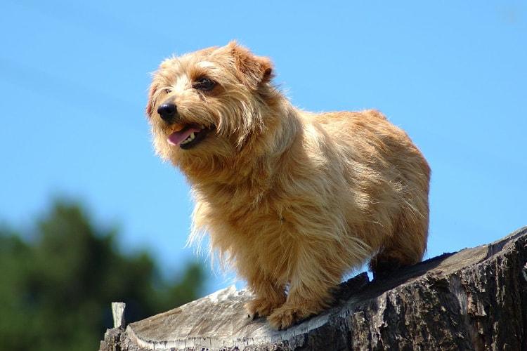 Norfolk Terrier em pé céu azul