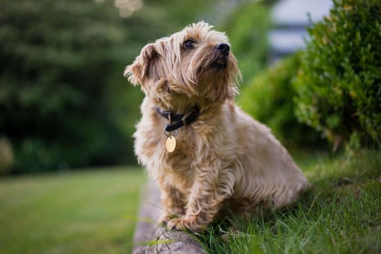 Tudo sobre Norfolk Terrier
