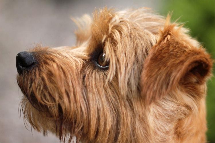 Perfil Norfolk Terrier
