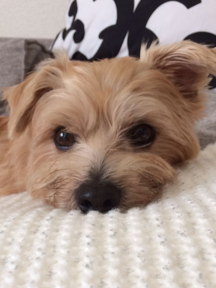 Personalidade do Norfolk Terrier