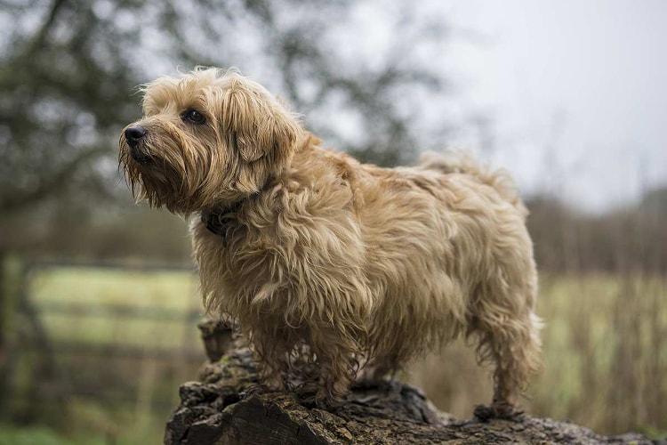 Raça Norfolk Terrier