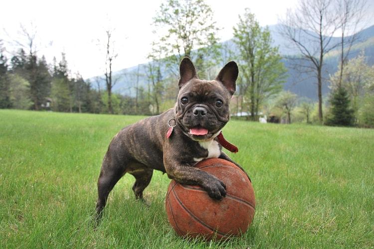 Bulldog Francês com bola