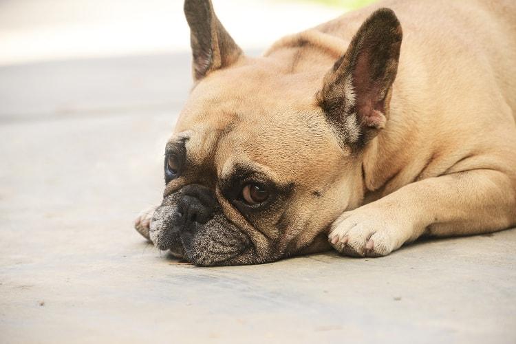 Bulldog francês deitado triste