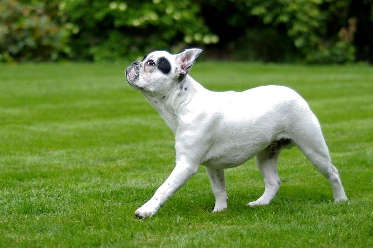 Bulldog Francês branco