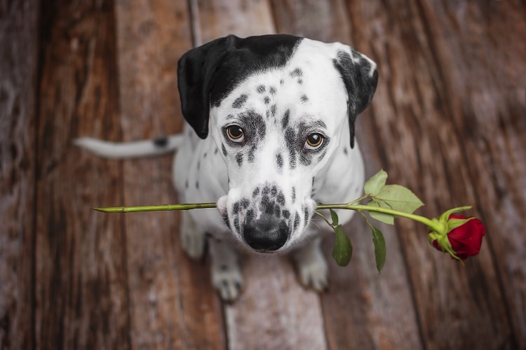 Dálmata com uma rosa