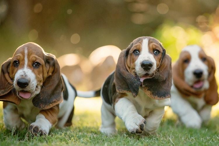 3 filhotes de Basset Hound