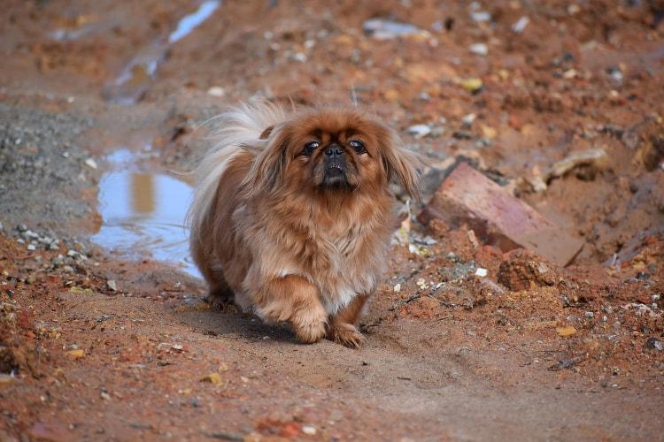 Pequinês marrom na lama