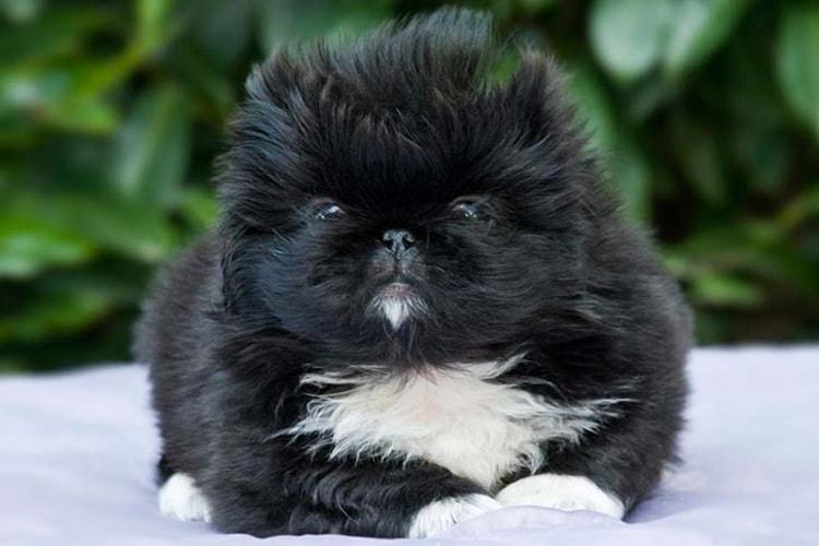 Pequinês preto
