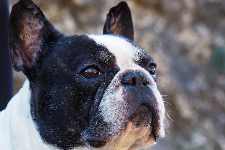 Rosto Bulldog Francês