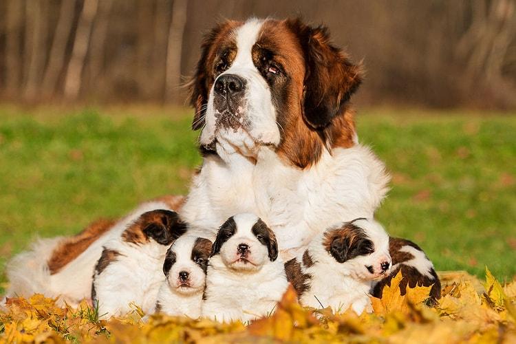 São Bernardo com 5 filhotes