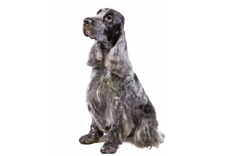 Cocker Spaniel cinza