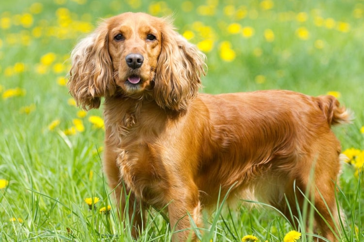 Personalidade do Cocker Spaniel