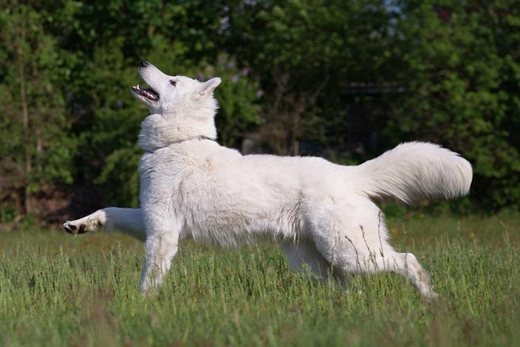 Samoieda correndo na grama