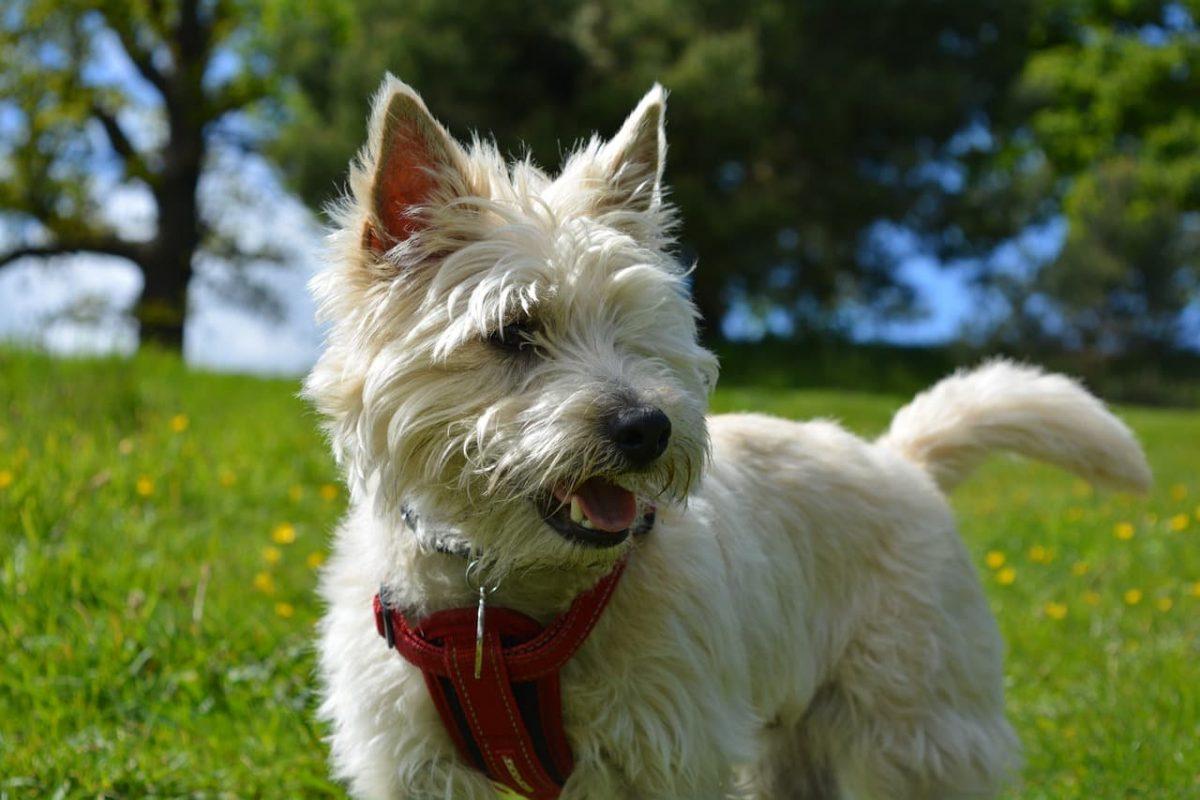 Cairn Terrier ao ar livre