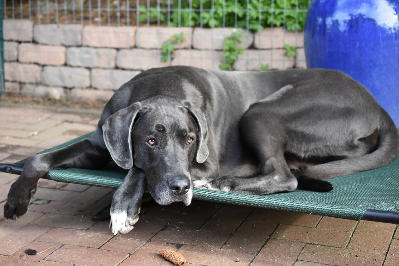 Dogue Alemão preto deitado