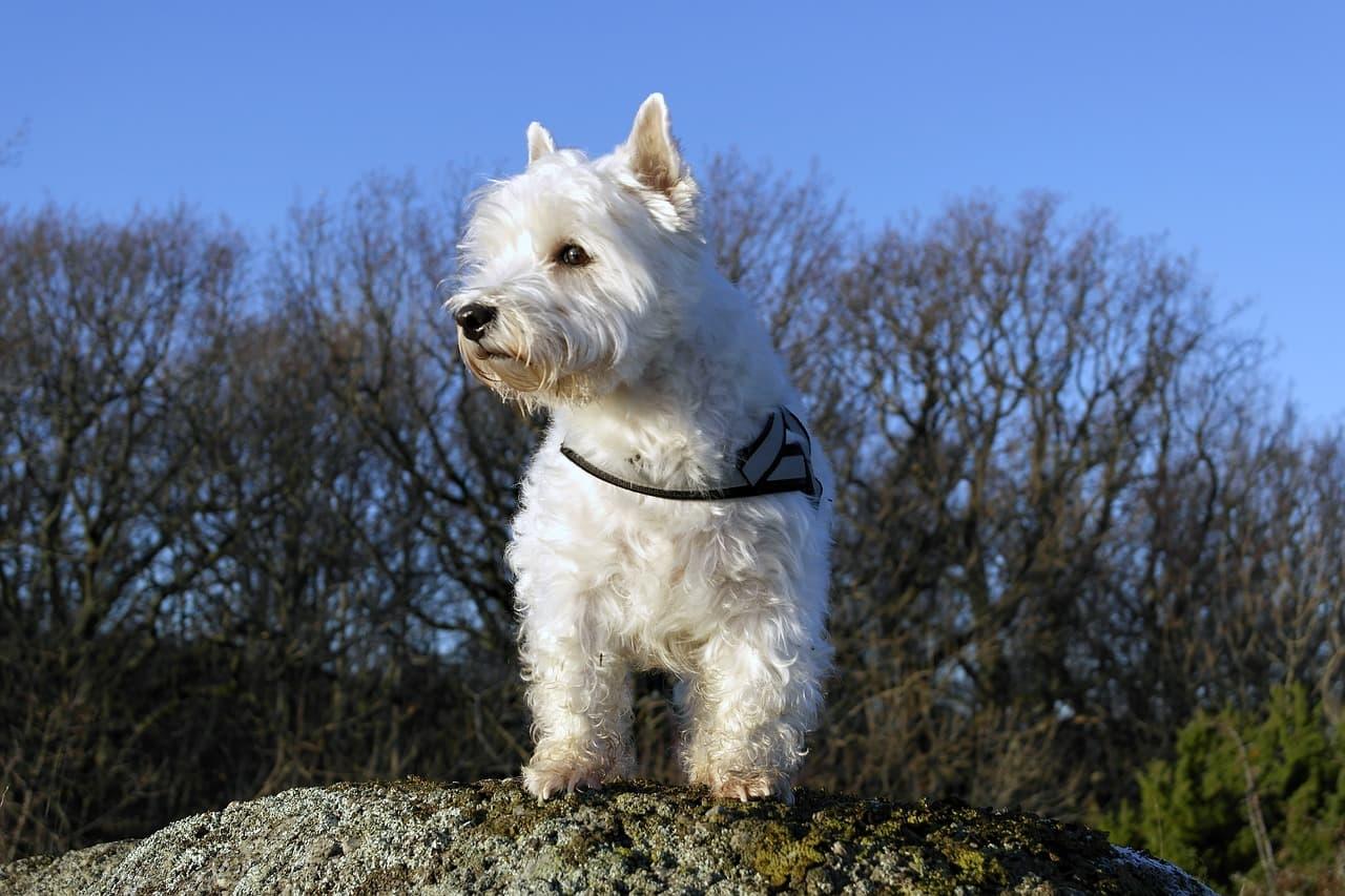 West Highland White Terrier ao ar livre