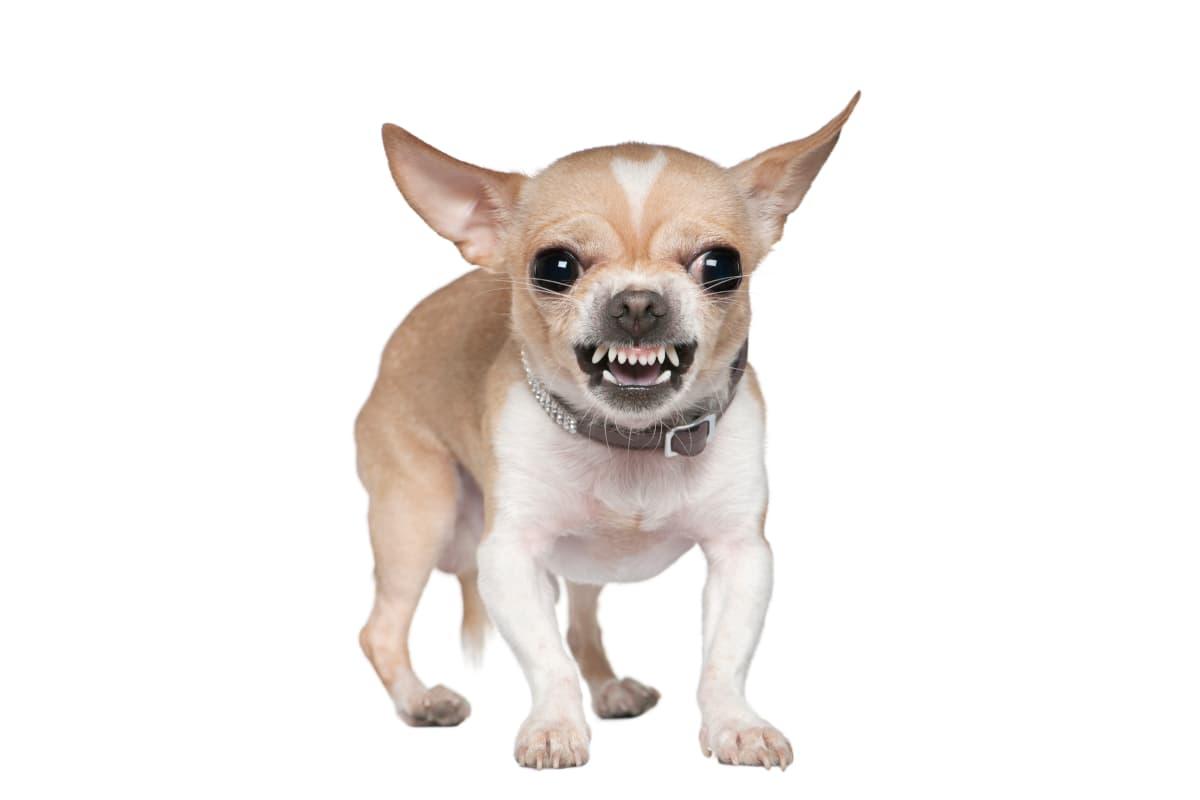 Chihuahua bravo