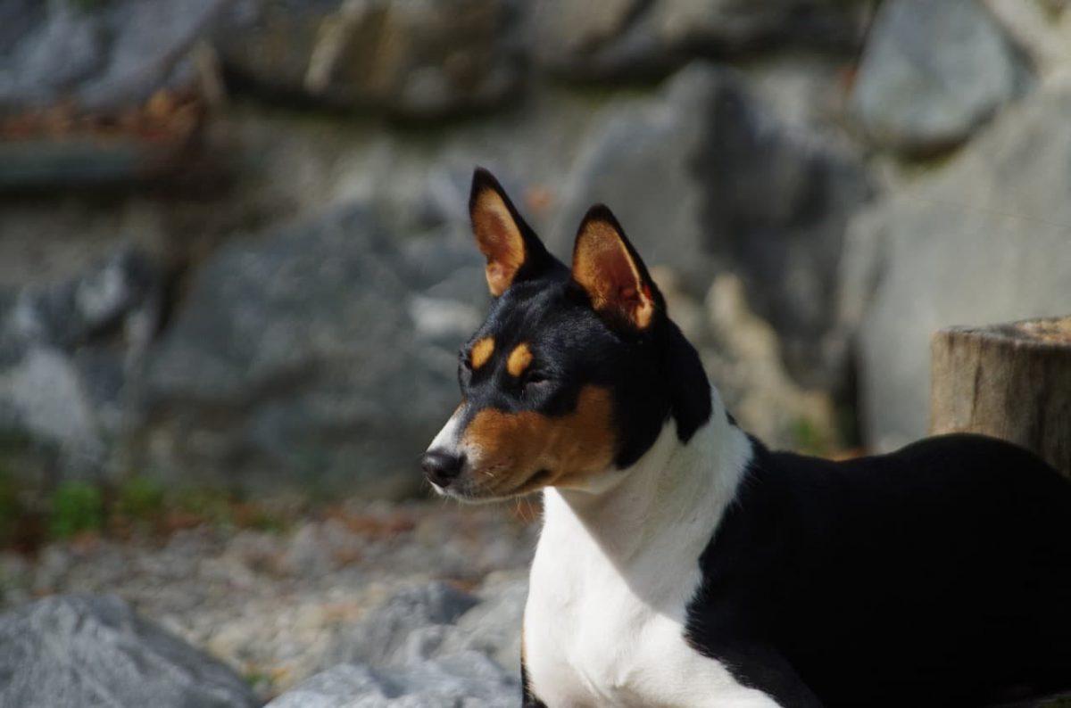 cachorro basenji preto e branco