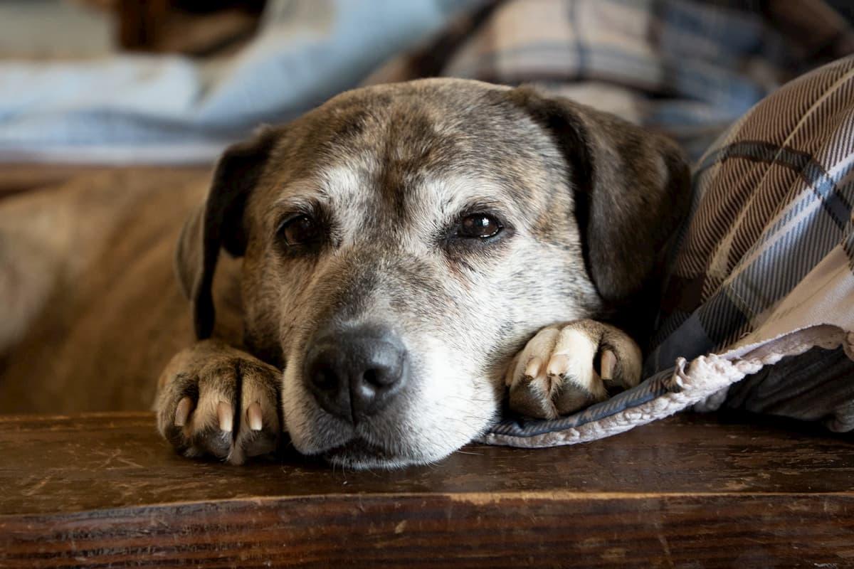 Cachorro velho branco e marrom deitado