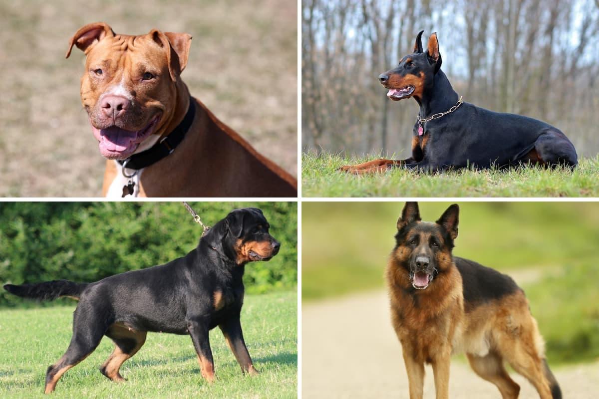 Imagem mostrando quatro cães de guarda
