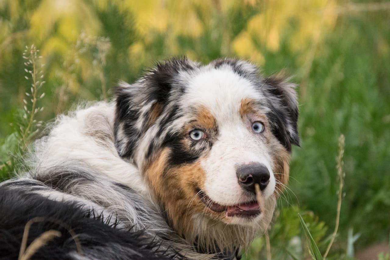 pastor-australiano-ao-ar-livre