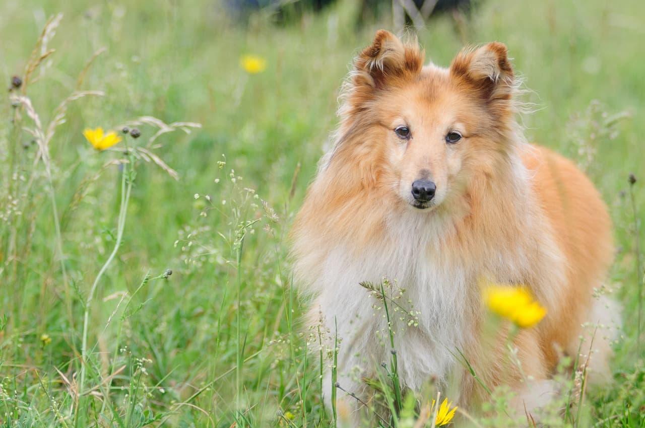 pastor de shetland no campo