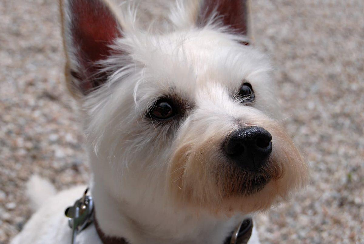West Highland White Terrier cabeça