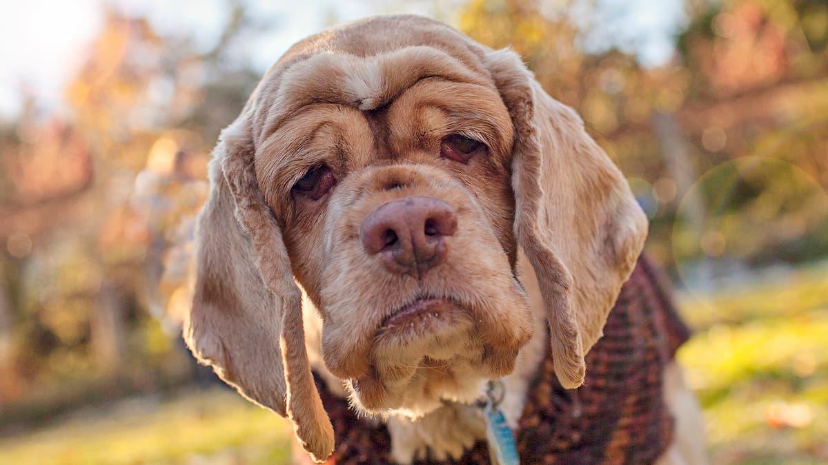 Rosto de um cachorro velho marrom