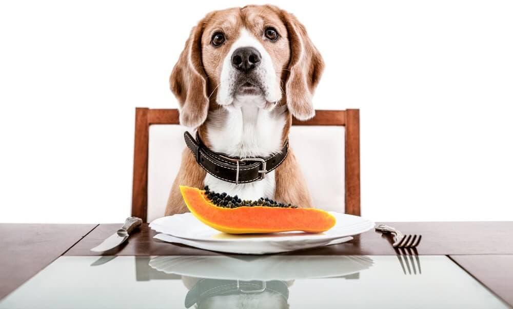 Cachorro comendo mamão no prato