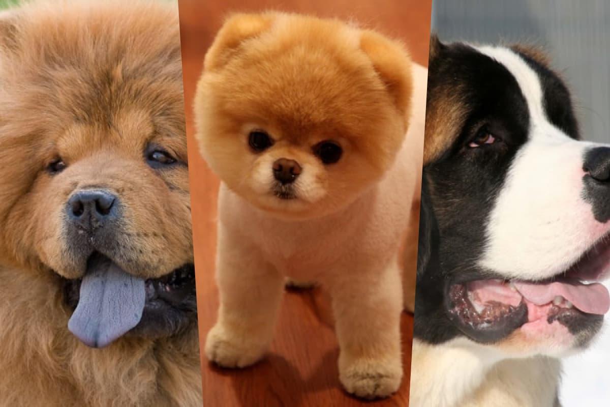 Cachorros que parecem com ursos