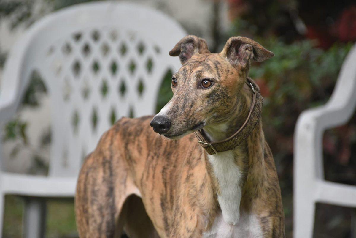 Greyhound olhando para o lado.