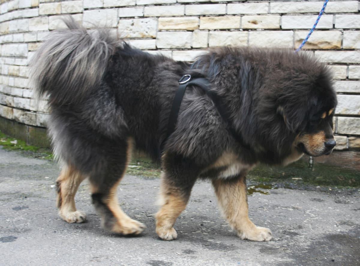 mastim tibetano preto