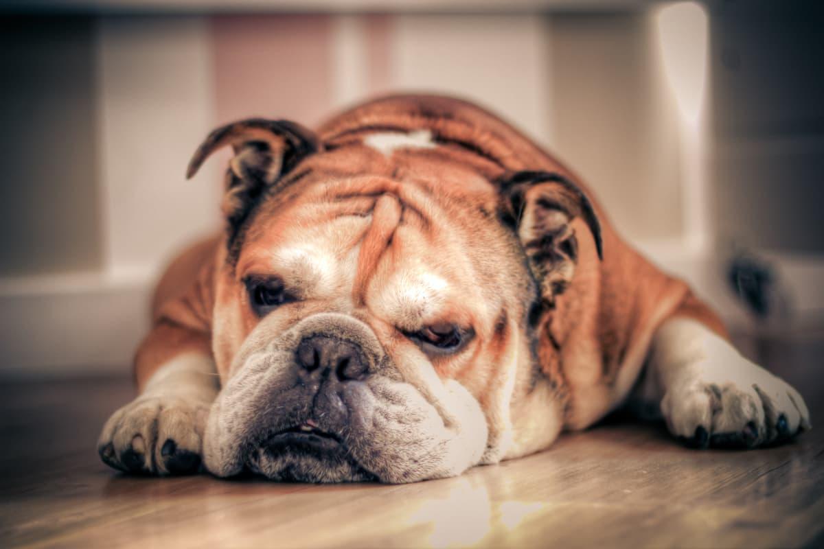 Bulldog Inglês deitado no chão do apartamento
