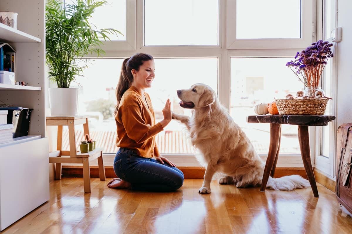 Golden Retriever em apartamento com mulher