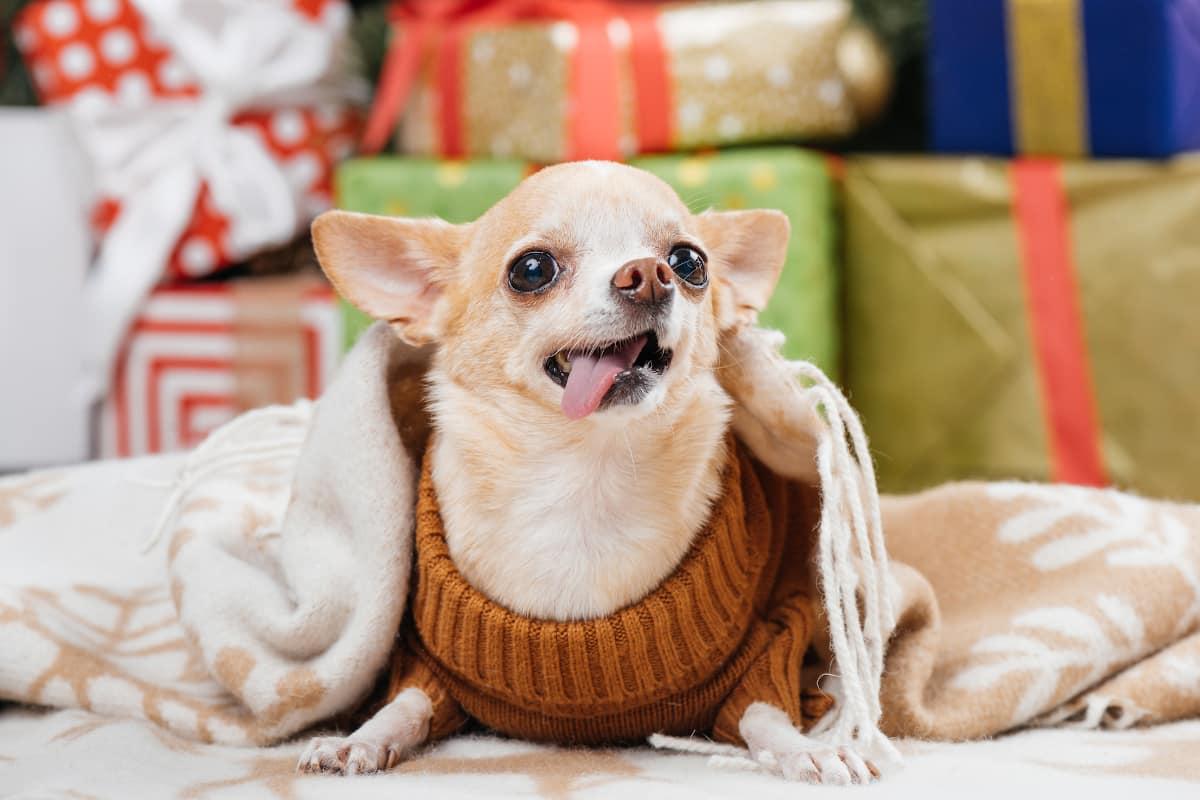 Chihuahua com cobertor