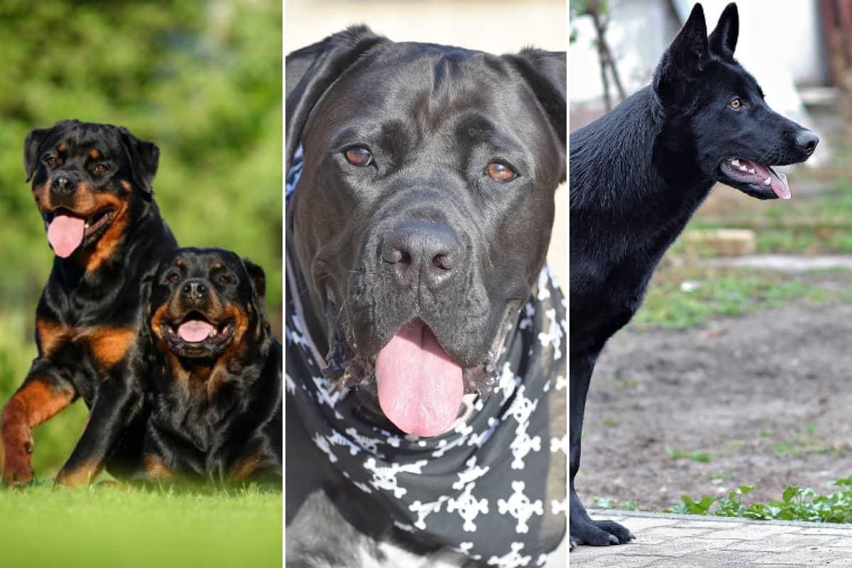 Raças de cachorro preto