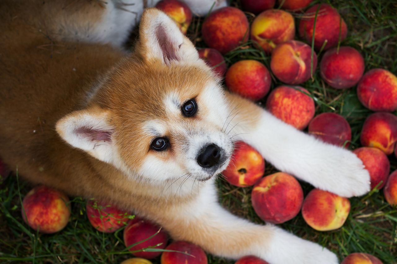 Cachorro deitado com pêssegos