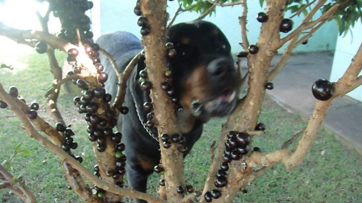 Cachorro comendo jabuticaba