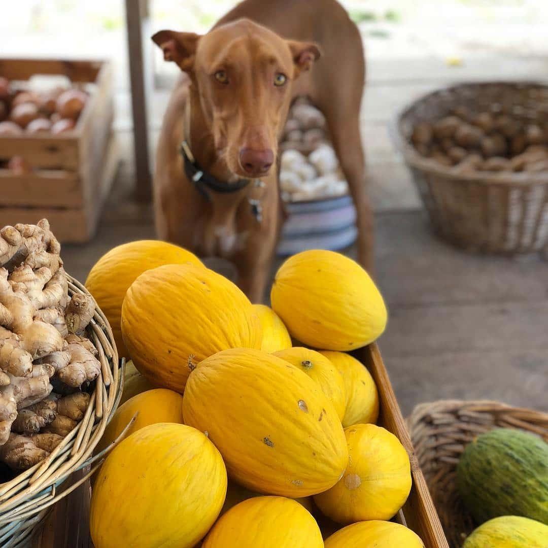Cachorro pode comer melão?