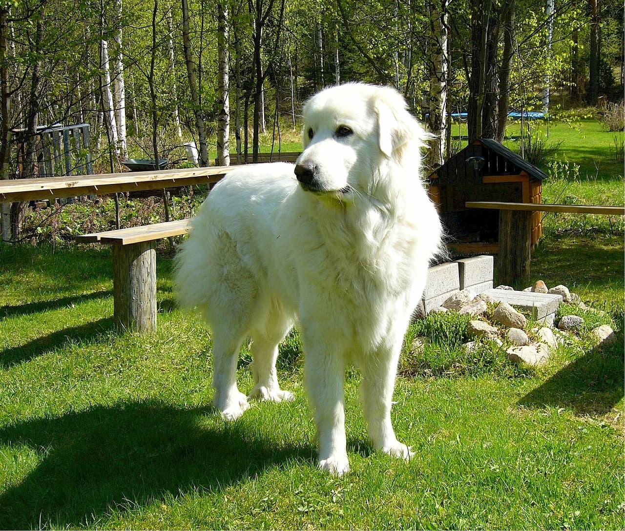 Cão de Montanha dos Pirineus branco