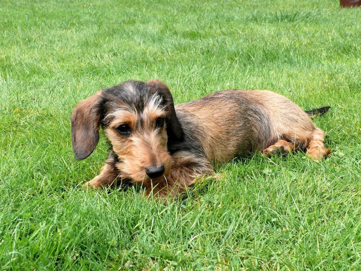 dachshund miniatura na grama
