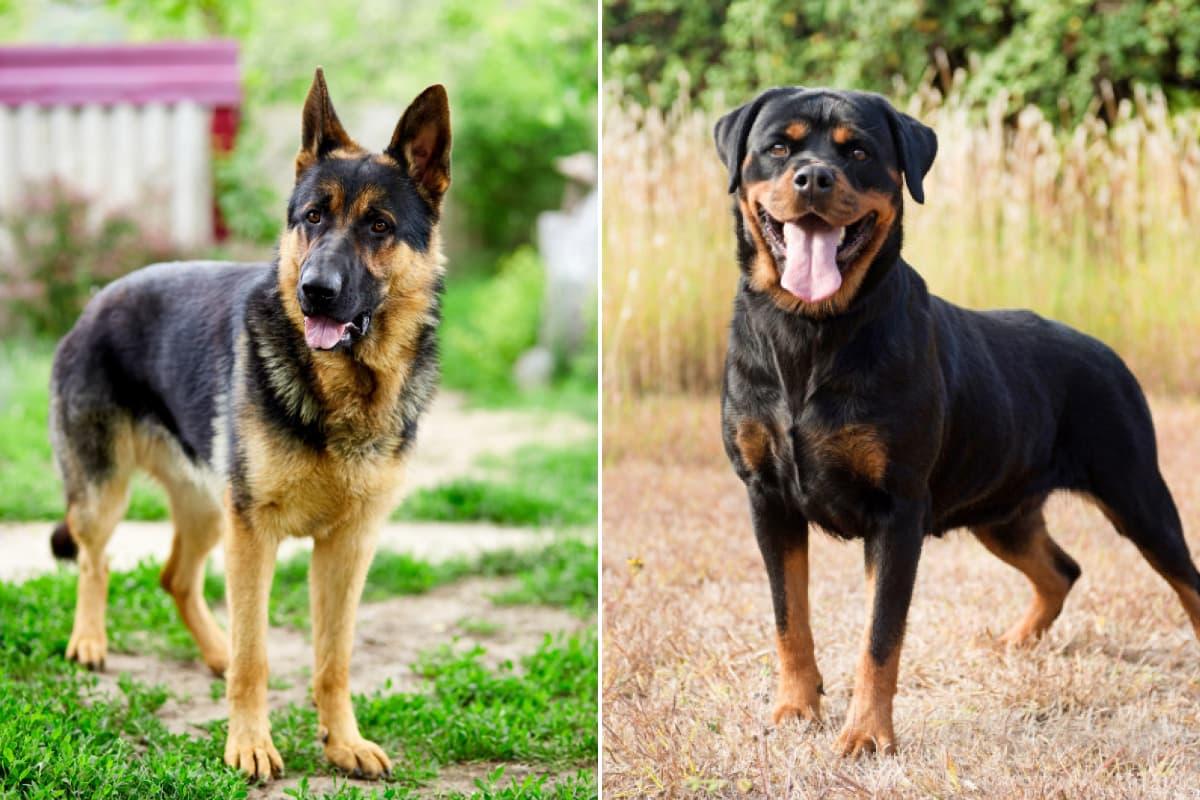 Pastor Alemão e Rottweiler para proteção pessoal