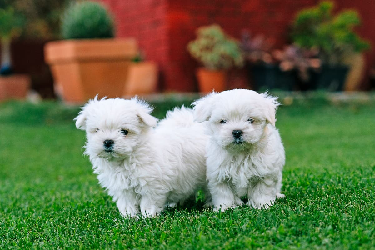 Dois filhotes de maltês brancos na grama