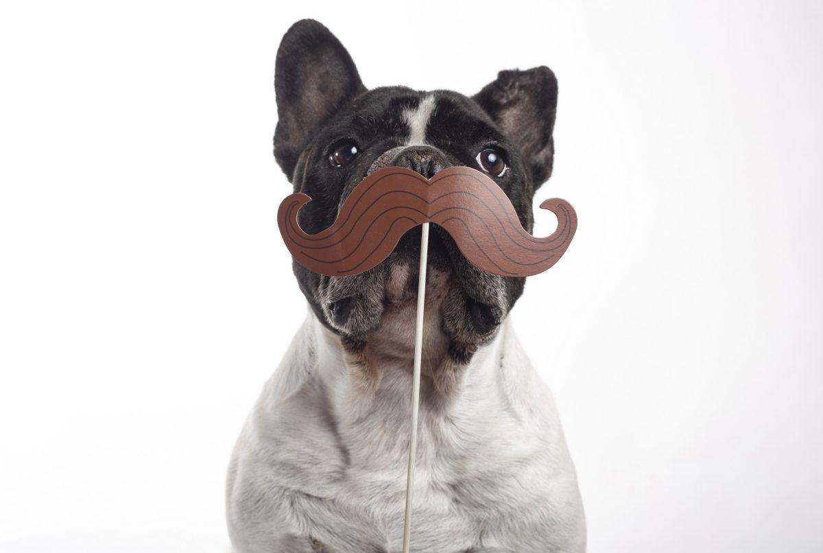 bullldogue frances com bigode