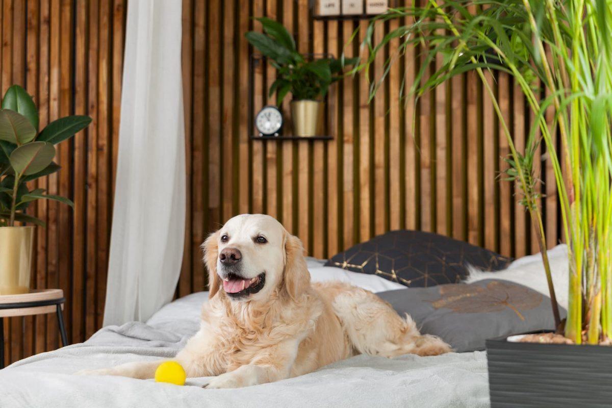 golden retriever deitado na cama