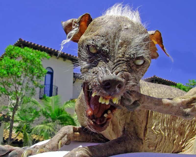 O cachorro mais feio do mundo