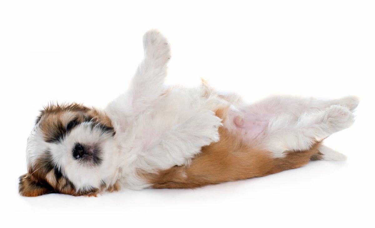 shihtzu deitado com barriga pra cima