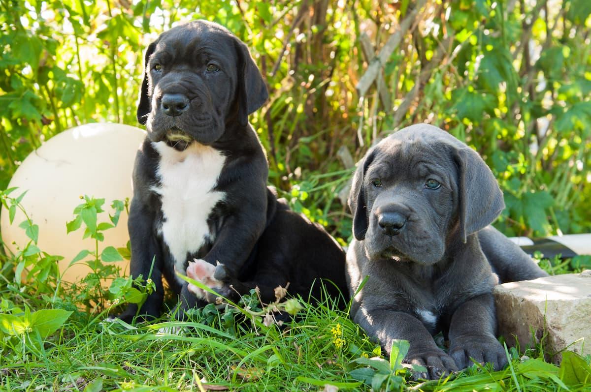 dois dogue alemão filhotes